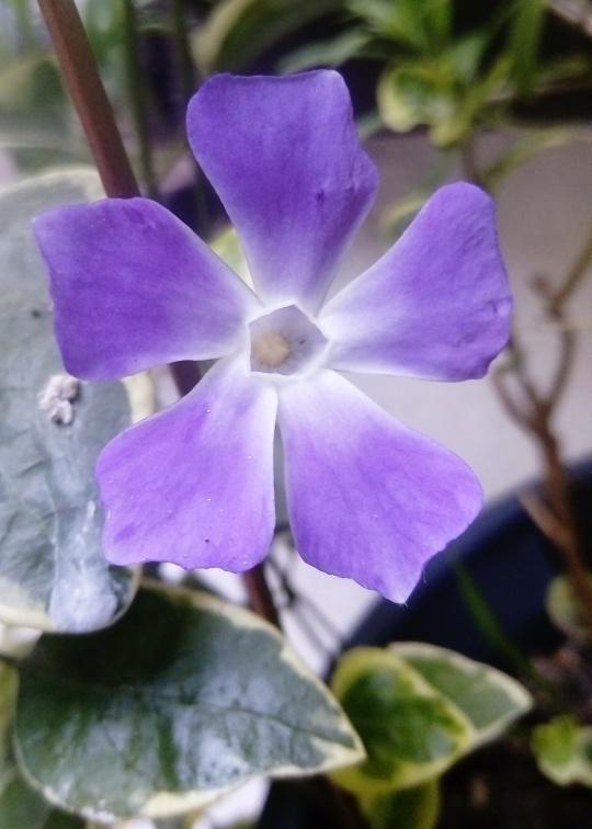 La violette des sorcières est de sortie
