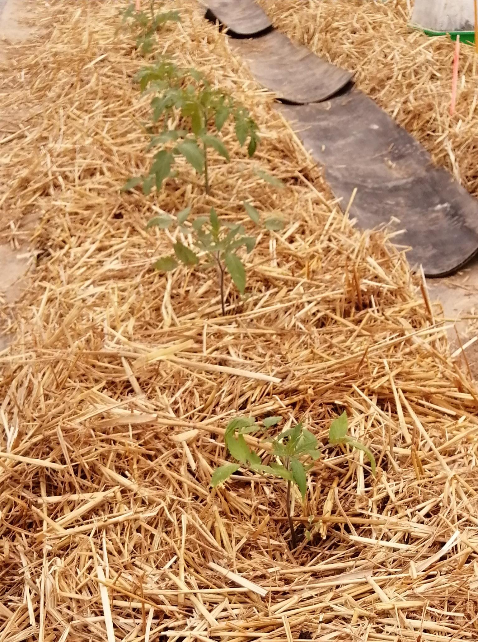 Test Tomate Cornue des Andes