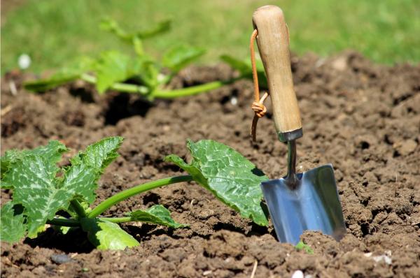 semer, planter des courgettes
