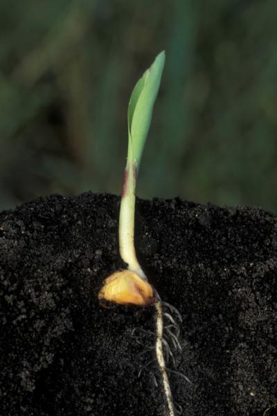 graine ou semence